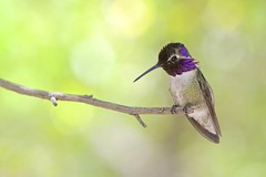 Costa's Hummingbird (Natures Joy Photography) Tags: arizona hummingbird tucson nationalparks saguaronationalpark costas trochilidae apodiformes costashummingbird calyptecostae cohu