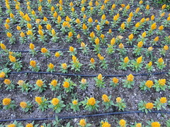 flower army (1) (kexi) Tags: many plenty flowers rows lines green orange may 2015 samsung wb690 instantfave