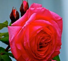Beautiful Red Rose . (ikan1711) Tags: flowers red roses rose petals blossoms blooms macros redroses beautifulflowers beautifulnature wonderfulnature macrophotos macroshots beautifulpetals petalpower beautifulroses westvancouverbc allflowers wonderfulflowers allroses wonderfulblossoms wonderfulblooms wonderfulpetals