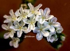 WWF (haidarism (Ahmed Alhaidari)) Tags: acronym white wwf flower bud plant bokeh outdoor nature depthoffield sonya65 macro macrophotography ngc greatphotographers