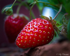 Miam! (christelerousset) Tags: fraise strawberry food fruit rouge red strawberries