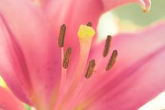 Primavera (juangrazz) Tags: pink summer flower planta primavera petals spring flor rosa pistil verano stigma macrofotografa ptalos pistilo estigmas
