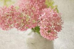 Elise (raewillow) Tags: summer favorite texture garden hydrangea