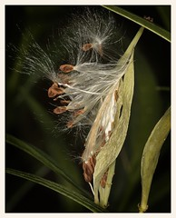 Milkweed Pod (gauchocat) Tags: arizonasonoradesertmuseum tucsonarizona