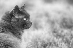 Fyero, On Guard (flashfix) Tags: portrait blackandwhite ontario canada monochrome animal cat outside nikon feline bokeh ottawa ragdoll ragamuffin 2016 backyardphotography nebelung fyero d7000 55mm300mm 2016inphotos june272016
