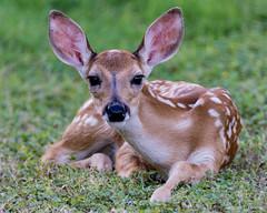 Neighborhood Fawn (NBTXN) Tags: animal nose texas natural wildlife ears polkadots spots fawn cuteness selma whitetail whitetaildeer babydeer selmaparkestates