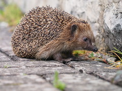 Die Nase und der Igel (guenther_haas) Tags: cold animal germany nose deutschland hare olympus hedgehog 60mm sniffles flu nase snuffles hase omd schnupfen aalen igel erkltung grippe badenwrttemberg runningnose em5 laufendenase naseluft triefnase mzuiko tropfnase