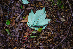 Leaf: Sony ZA 55mm f1.8 @ f1.8 (Falcdragon) Tags: colour forest leaf aperture woods belgium wide fast litter f18 liège sarttilman ilce7 sonya7alpha sonyzeisssonnarfe1855mmza
