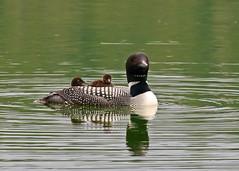 Common Loon (Gavia immer) 0F3A6270 (Dale Scott.) Tags: albertacanada jaspernationalpark commonloon gaviaimmer pyramidlake