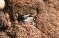 Why do Bison Cry? (eyriel) Tags: macro eye nature animal fur mammal tears wildlife elmwoodparkzoo