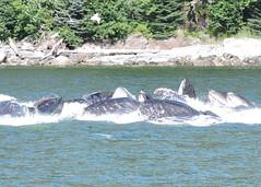 HUMPBACK WHALES (walladucks) Tags: feeding whale humpback bubblenest
