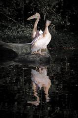 Pelicans (Niicolevi) Tags: pink holland reflection pelicans water dutch birds animals zoo nederland vogels natuur pelican dieren pelikaan reflectie pelikanen spiegelbeeld