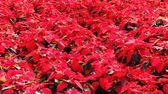 Poinsettia's at the growers. (Jim Mullhaupt) Tags: christmas pink decorations red white holiday nikon flickr florida poinsettia coolpix bradenton orbans grower p510 mullhaupt orbansnursery jimmullhaupt