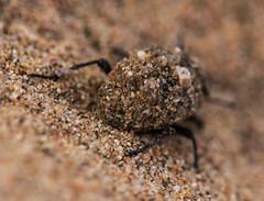 Camouflage  (haidarism (Ahmed Alhaidari)) Tags: insect sand dune ngc beetle insects camouflage medina   yanbu