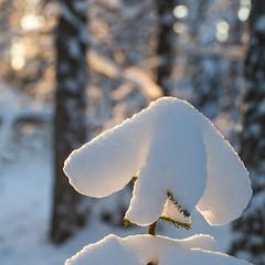 Un chapeau de neige (sosivov) Tags: winter white snow forest square sweden squareformat contrejour