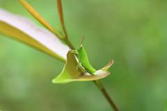 grasshopper (sampathkod1) Tags: beauty natural micro grasshopper canondslr indianimage greengrasshopper canon1200d sampathphotography