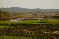 Rice fields on the shores of Manambolo
