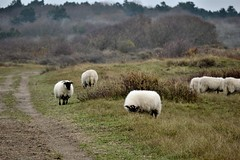 Noord-Hollands Duinreservaat (Roselinde Alexandra) Tags: holland netherlands animals sheep noordholland duinreservaat