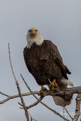 Bald eagle looking serious
