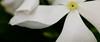 White petals IMG_4059 (waipun) Tags: white flower canon whiteflower petal 450d canon450d