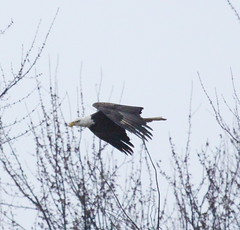 IMG_3227-1 Bald Eagle (John Pohl2011) Tags: bird canon john hawk raptor 100400mm birdofprey pohl perching t4i 100400mmlens canont4i