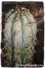 Trichocereus peruvianus 'Rimac valley' [Matucana Peru 2000m] (farmer dodds) Tags: cactus peru cactaceae mescaline echinopsis trichocereus matucana trichocereusperuvianus echinopsisperuvianus trichocereusperuvianusrimacvalley
