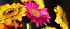 Starlets (David S Wilson) Tags: uk flowers winter england flower floral gerbera ely 2014 flowersplants sonynex davidswilson lightroom5 sonysel50f18 sonya5100