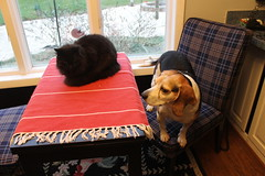 New Furniture from Ikea (cseeman) Tags: cats pets ikea dogs kitchen table michigan cosmo saline beagles dogsandcats flapjack dogsandcatstogether