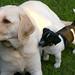 Labrador und Russel