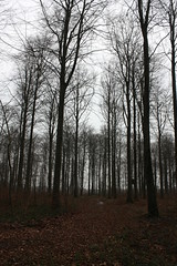 Winter Forest (Crisp-13) Tags: wood autumn winter brown tree fall leaves forest denmark leaf bare danish