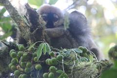 Rufi (Kelsie DiPerna) Tags: travel nationalpark rainforest hiking conservation hike adventure jungle lemur lemurs volunteer madagascar fianarantsoa ranomafana rufi redfrontedlemur eulemurrufifrans