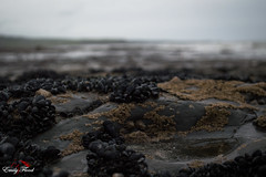 Muscles (Emily Flood) Tags: sea shells beach muscles seaside clare lahinch countyclare