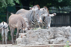 Zebra, Denver Zoo (.James Brian Clark) Tags: wild cute tourism nature animal set fauna zoo natural wildlife reserve conservation collection wildanimal species endangered isolated zoology