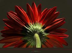 Gerbera (aniribe) Tags: red flower color nature nikon gerbera