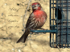 2015 - 365 #11 (danieljsf) Tags: red color bird finch housefinch dashofcolor hintofcolor