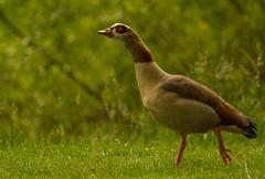 Gans (Alias_Axel_Ryder) Tags: bird gans insel neckar vogel tübingen neckarinsel