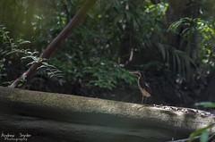 Agami Heron (Andrew Snyder Photography) Tags: bird heron southamerica conservation guyana research agamiheron agamiaagami guianashield andrewmsnyder worldwildifefund biodiversityassessmenttteam