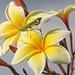 Madagascar Mantis Flower