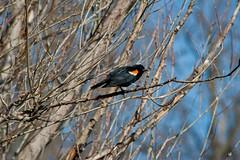 Perched (PaladinPhil) Tags: tree bird highpark perch redwingblackbird