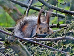 peekaboo (BrigitteE1) Tags: animal germany de zoo squirrel orava ekorre esquilo bremerhaven zooammeer ardilla eichhörnchen íkorni scoiattolo écureuil ekorn wiewiórka veverka eekhoorn egern orav sincap белка mókus specanimal σκίουροσ sibirischeseichhörnchen sciurusvulgarisexalbidus 木鼠 eekkoter