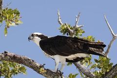 Pandion haliaetus (benth0s) Tags: sea fish bird river florida hawk raptor naples prey osprey pescatore falco