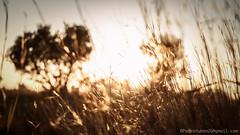 contraluces-3.jpg (Pedroruben) Tags: trees sunset sun sol atardecer arboles ears exhibition olives catalunya rays puestadesol olivos tarragona reus exposicion rayos espigas