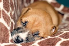 My Little Kenai (Fallen Oak Photography) Tags: life red wild rescue dog baby white black cute love puppy photography oak cutie pitbull fallen giraffe kenai 5weeks chosen 6weeks backround wildside fallenoakphotography