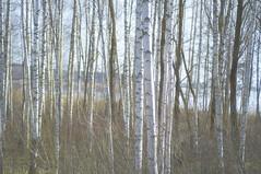 Les bouleaux (ignis:) Tags: trees nature latvia arbres birch riga fort bouleaux lettonie