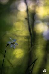 OMBRA (Lace1952) Tags: primavera bokeh ombra fiore luce narciso selvatico sfocato nikond7100 trioplan135mm