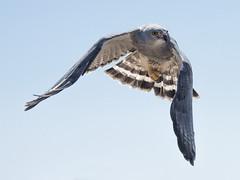 Gray Hawk (Buteo plagiatus) (Vegas Nelson) Tags: camera arizona bird hawk places grayhawk nikond810