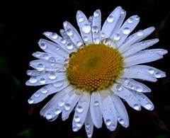 Rainy Day (yantrax) Tags: flowers white flower color macro floral colors rain closeup blossom outdoor sony pflanze daisy bloom raindrops blume makro regen margerite flowersarefabulous