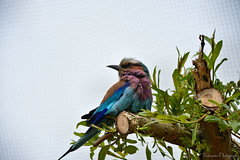 LILAC-BREASTED ROLLER (Robinson-Photography) Tags: blue colour bird zoo nikon colorfull wildlife colourful avian chesterzoo lilacbreastedroller rollerbird birdsofengland nikon7200