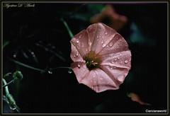 Elaborazione con fiore di malva - Maggio-2016 (agostinodascoli) Tags: macro texture nature photoshop nikon fiori nikkor fiore sicilia malva cianciana
