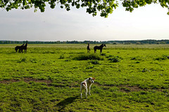 Mustangs - 2016-0013_Web (berni.radke) Tags: horses horse mustang pferde pferd mustangs